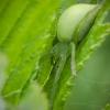 Paprastasis žaliavoris | Green huntsman spider | Micrommata virescens | Fotografijos autorius : Darius Baužys | © Macrogamta.lt | Šis tinklapis priklauso bendruomenei kuri domisi makro fotografija ir fotografuoja gyvąjį makro pasaulį.