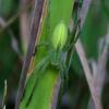 Paprastasis žaliavoris - Micrommata virescens ♀   Fotografijos autorius : Romas Ferenca   © Macrogamta.lt   Šis tinklapis priklauso bendruomenei kuri domisi makro fotografija ir fotografuoja gyvąjį makro pasaulį.
