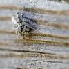 Paprastasis dėmėtšoklis   Attulus terebratus   Fotografijos autorius : Darius Baužys   © Macrogamta.lt   Šis tinklapis priklauso bendruomenei kuri domisi makro fotografija ir fotografuoja gyvąjį makro pasaulį.