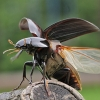 Degutvabalis - Hydrophilus aterrimus | Fotografijos autorius : Agnė Našlėnienė | © Macrogamta.lt | Šis tinklapis priklauso bendruomenei kuri domisi makro fotografija ir fotografuoja gyvąjį makro pasaulį.