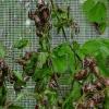 Paprastasis grambuolys - Melolontha melolontha | Fotografijos autorius : Arūnas Eismantas | © Macrogamta.lt | Šis tinklapis priklauso bendruomenei kuri domisi makro fotografija ir fotografuoja gyvąjį makro pasaulį.