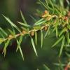 Paprastasis kadagys - Juniperus communis | Fotografijos autorius : Gintautas Steiblys | © Macrogamta.lt | Šis tinklapis priklauso bendruomenei kuri domisi makro fotografija ir fotografuoja gyvąjį makro pasaulį.