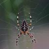 Paprastasis kryžiuotis (Araneus diadematus)   Fotografijos autorius : Elmaras Duderis   © Macrogamta.lt   Šis tinklapis priklauso bendruomenei kuri domisi makro fotografija ir fotografuoja gyvąjį makro pasaulį.