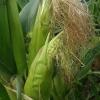 Paprastasis kukurūzas - Zea mays | Fotografijos autorius : Gintautas Steiblys | © Macrogamta.lt | Šis tinklapis priklauso bendruomenei kuri domisi makro fotografija ir fotografuoja gyvąjį makro pasaulį.