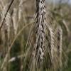 Paprastasis miežis - Hordeum vulgare | Fotografijos autorius : Gintautas Steiblys | © Macrogamta.lt | Šis tinklapis priklauso bendruomenei kuri domisi makro fotografija ir fotografuoja gyvąjį makro pasaulį.