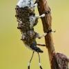 Paprastasis netikrastraublis - Platystomos albinus  | Fotografijos autorius : Arūnas Eismantas | © Macrogamta.lt | Šis tinklapis priklauso bendruomenei kuri domisi makro fotografija ir fotografuoja gyvąjį makro pasaulį.