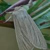 Paprastasis pievinukas - Mythimna pallens   Fotografijos autorius : Gintautas Steiblys   © Macrogamta.lt   Šis tinklapis priklauso bendruomenei kuri domisi makro fotografija ir fotografuoja gyvąjį makro pasaulį.