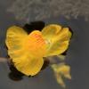 Paprastasis skendenis - Utricularia vulgaris   Fotografijos autorius : Ramunė Vakarė   © Macrogamta.lt   Šis tinklapis priklauso bendruomenei kuri domisi makro fotografija ir fotografuoja gyvąjį makro pasaulį.