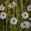 Paprastoji baltagalvė - Leucanthemum vulgare   Fotografijos autorius : Kęstutis Obelevičius   © Macrogamta.lt   Šis tinklapis priklauso bendruomenei kuri domisi makro fotografija ir fotografuoja gyvąjį makro pasaulį.