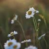Paprastoji baltagalvė – Leucanthemum vulgare | Fotografijos autorius : Agnė Našlėnienė | © Macrogamta.lt | Šis tinklapis priklauso bendruomenei kuri domisi makro fotografija ir fotografuoja gyvąjį makro pasaulį.