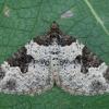 Paprastoji cidarija - Xanthorhoe fluctuata | Fotografijos autorius : Žilvinas Pūtys | © Macrogamta.lt | Šis tinklapis priklauso bendruomenei kuri domisi makro fotografija ir fotografuoja gyvąjį makro pasaulį.