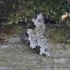 Paprastoji cidarija - Xanthorhoe fluctuata | Fotografijos autorius : Vytautas Gluoksnis | © Macrogamta.lt | Šis tinklapis priklauso bendruomenei kuri domisi makro fotografija ir fotografuoja gyvąjį makro pasaulį.