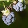 Paprastoji gervuogė - Rubus caesius | Fotografijos autorius : Kazimieras Martinaitis | © Macrogamta.lt | Šis tinklapis priklauso bendruomenei kuri domisi makro fotografija ir fotografuoja gyvąjį makro pasaulį.