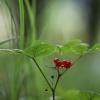 Paprastoji katuogė - Rubus saxatilis   Fotografijos autorius : Agnė Našlėnienė   © Macrogamta.lt   Šis tinklapis priklauso bendruomenei kuri domisi makro fotografija ir fotografuoja gyvąjį makro pasaulį.
