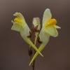 Paprastoji linažolė - Linaria vulgaris | Fotografijos autorius : Zita Gasiūnaitė | © Macrogamta.lt | Šis tinklapis priklauso bendruomenei kuri domisi makro fotografija ir fotografuoja gyvąjį makro pasaulį.