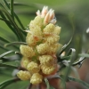 Paprastoji pušis - Pinus sylvestris | Fotografijos autorius : Gintautas Steiblys | © Macrogamta.lt | Šis tinklapis priklauso bendruomenei kuri domisi makro fotografija ir fotografuoja gyvąjį makro pasaulį.