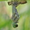 Grakščioji skėtė - Leucorrhinia caudalis | Fotografijos autorius : Agnė Našlėnienė | © Macrogamta.lt | Šis tinklapis priklauso bendruomenei kuri domisi makro fotografija ir fotografuoja gyvąjį makro pasaulį.