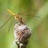 Paprastoji skėtė - Sympetrum vulgatum | Fotografijos autorius : Vidas Brazauskas | © Macrogamta.lt | Šis tinklapis priklauso bendruomenei kuri domisi makro fotografija ir fotografuoja gyvąjį makro pasaulį.