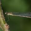 Paprastoji strėliukė - Lestes sponsa | Fotografijos autorius : Dalia Račkauskaitė | © Macrogamta.lt | Šis tinklapis priklauso bendruomenei kuri domisi makro fotografija ir fotografuoja gyvąjį makro pasaulį.