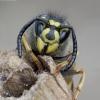 Paprastoji vapsva - Vespula vulgaris | Fotografijos autorius : Romas Ferenca | © Macrogamta.lt | Šis tinklapis priklauso bendruomenei kuri domisi makro fotografija ir fotografuoja gyvąjį makro pasaulį.