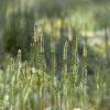 Pataisas varinčius - Spinulum annotinum | Fotografijos autorius : Vidas Brazauskas | © Macrogamta.lt | Šis tinklapis priklauso bendruomenei kuri domisi makro fotografija ir fotografuoja gyvąjį makro pasaulį.