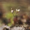 Pavasarinė ankstyvė - Draba verna | Fotografijos autorius : Vidas Brazauskas | © Macrogamta.lt | Šis tinklapis priklauso bendruomenei kuri domisi makro fotografija ir fotografuoja gyvąjį makro pasaulį.