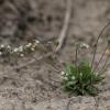 Pavasarinė ankstyvė - Draba verna | Fotografijos autorius : Kęstutis Obelevičius | © Macrogamta.lt | Šis tinklapis priklauso bendruomenei kuri domisi makro fotografija ir fotografuoja gyvąjį makro pasaulį.