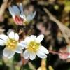 Pavasarinė ankstyvė - Draba verna | Fotografijos autorius : Ramunė Vakarė | © Macrogamta.lt | Šis tinklapis priklauso bendruomenei kuri domisi makro fotografija ir fotografuoja gyvąjį makro pasaulį.