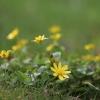 Pavasarinis švitriešis - Ficaria verna | Fotografijos autorius : Agnė Našlėnienė | © Macrogamta.lt | Šis tinklapis priklauso bendruomenei kuri domisi makro fotografija ir fotografuoja gyvąjį makro pasaulį.