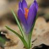 Pavasarinis krokas - Crocus vernus | Fotografijos autorius : Gintautas Steiblys | © Macrogamta.lt | Šis tinklapis priklauso bendruomenei kuri domisi makro fotografija ir fotografuoja gyvąjį makro pasaulį.