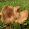 Meškutė - Paxillus vernalis  | Fotografijos autorius : Vytautas Gluoksnis | © Macrogamta.lt | Šis tinklapis priklauso bendruomenei kuri domisi makro fotografija ir fotografuoja gyvąjį makro pasaulį.