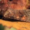 Vasarojinis stiebinukas - Amphipoea fucosa | Fotografijos autorius : Ramunė Vakarė | © Macrogamta.lt | Šis tinklapis priklauso bendruomenei kuri domisi makro fotografija ir fotografuoja gyvąjį makro pasaulį.