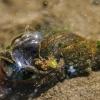 Pelkinė kūdrinukė - Stagnicola palustris | Fotografijos autorius : Kazimieras Martinaitis | © Macrogamta.lt | Šis tinklapis priklauso bendruomenei kuri domisi makro fotografija ir fotografuoja gyvąjį makro pasaulį.