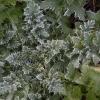 Pelkinė usnis - Cirsium palustre | Fotografijos autorius : Žilvinas Pūtys | © Macrogamta.lt | Šis tinklapis priklauso bendruomenei kuri domisi makro fotografija ir fotografuoja gyvąjį makro pasaulį.