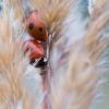 Penkiataškė boružė - Coccinella quinquepunctata | Fotografijos autorius : Zita Gasiūnaitė | © Macrogamta.lt | Šis tinklapis priklauso bendruomenei kuri domisi makro fotografija ir fotografuoja gyvąjį makro pasaulį.