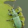 Lapinukas - Phyllobius maculicornis   Fotografijos autorius : Gintautas Steiblys   © Macrogamta.lt   Šis tinklapis priklauso bendruomenei kuri domisi makro fotografija ir fotografuoja gyvąjį makro pasaulį.