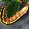 Žirninis pelėdgalvis, vikšras - Ceramica pisi | Fotografijos autorius : Ramunė Vakarė | © Macrogamta.lt | Šis tinklapis priklauso bendruomenei kuri domisi makro fotografija ir fotografuoja gyvąjį makro pasaulį.