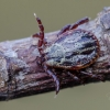 Pievinė erkė | Dermacentor reticulatus | Fotografijos autorius : Darius Baužys | © Macrogamta.lt | Šis tinklapis priklauso bendruomenei kuri domisi makro fotografija ir fotografuoja gyvąjį makro pasaulį.