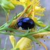 Pievinis puošnys - Chrysolina geminata | Fotografijos autorius : Vitalii Alekseev | © Macrogamta.lt | Šis tinklapis priklauso bendruomenei kuri domisi makro fotografija ir fotografuoja gyvąjį makro pasaulį.