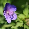 Pievinis snaputis - Geranium pratense | Fotografijos autorius : Ramunė Činčikienė | © Macrogamta.lt | Šis tinklapis priklauso bendruomenei kuri domisi makro fotografija ir fotografuoja gyvąjį makro pasaulį.