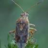 Pilkšvoji kampuotblakė - Stictopleurus abutilon ♀ | Fotografijos autorius : Žilvinas Pūtys | © Macrogamta.lt | Šis tinklapis priklauso bendruomenei kuri domisi makro fotografija ir fotografuoja gyvąjį makro pasaulį.