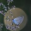 Pilkasis melsvys - Polyommatus semiargus   Fotografijos autorius : Agnė Našlėnienė   © Macrogamta.lt   Šis tinklapis priklauso bendruomenei kuri domisi makro fotografija ir fotografuoja gyvąjį makro pasaulį.
