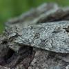 Pilkasis pelėdgalvis - Polia nebulosa | Fotografijos autorius : Žilvinas Pūtys | © Macrogamta.lt | Šis tinklapis priklauso bendruomenei kuri domisi makro fotografija ir fotografuoja gyvąjį makro pasaulį.