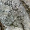 Pilkasis pelėdgalvis - Polia nebulosa | Fotografijos autorius : Vidas Brazauskas | © Macrogamta.lt | Šis tinklapis priklauso bendruomenei kuri domisi makro fotografija ir fotografuoja gyvąjį makro pasaulį.