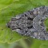 Pilkasis sodinis pelėdgalvis - Lacanobia w-latinum | Fotografijos autorius : Žilvinas Pūtys | © Macrogamta.lt | Šis tinklapis priklauso bendruomenei kuri domisi makro fotografija ir fotografuoja gyvąjį makro pasaulį.