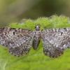 Pilkasis sprindytis - Eupithecia satyrata | Fotografijos autorius : Gintautas Steiblys | © Macrogamta.lt | Šis tinklapis priklauso bendruomenei kuri domisi makro fotografija ir fotografuoja gyvąjį makro pasaulį.