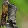 Pilkoji kliostera - Clostera anachoreta | Fotografijos autorius : Gintautas Steiblys | © Macrogamta.lt | Šis tinklapis priklauso bendruomenei kuri domisi makro fotografija ir fotografuoja gyvąjį makro pasaulį.