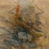 Pilkosios skorpionblakės - Nepa cinerea | Fotografijos autorius : Gintautas Steiblys | © Macrogamta.lt | Šis tinklapis priklauso bendruomenei kuri domisi makro fotografija ir fotografuoja gyvąjį makro pasaulį.