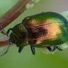Pipirmėtinis puošnys - Chrysolina herbacea | Fotografijos autorius : Žilvinas Pūtys | © Macrogamta.lt | Šis tinklapis priklauso bendruomenei kuri domisi makro fotografija ir fotografuoja gyvąjį makro pasaulį.