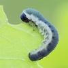 Pjūklelis - Apethymus serotinus, lerva | Fotografijos autorius : Gintautas Steiblys | © Macrogamta.lt | Šis tinklapis priklauso bendruomenei kuri domisi makro fotografija ir fotografuoja gyvąjį makro pasaulį.
